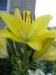 Golden Lilly bloom
