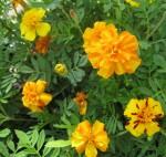 Orange and Yello/RedMarigold