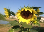 Volunteer Sunflower