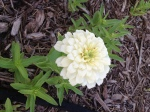 White Wedding Zinnia