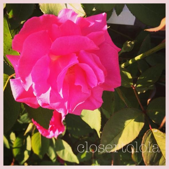 Zephirine Drouhin climbing pink rose. Year #2