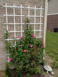 Antique Zephirine Drouhin pink climbing rose, year #2